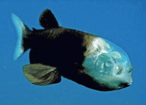 Barrel Eye Spookfish