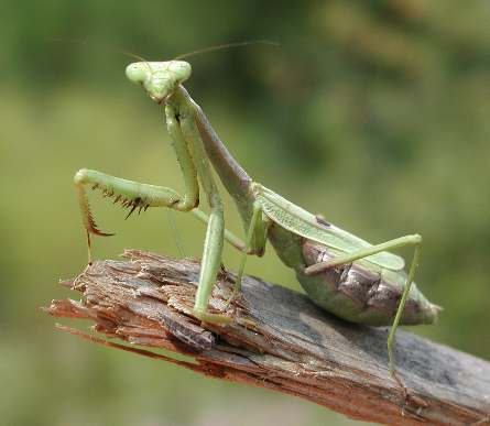 [Image: praying-mantis.jpeg]