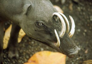 The number one cause of death for babirusas is sneezing.