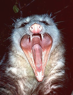 http://quantumbiologist.files.wordpress.com/2011/02/opossum-teeth.jpg
