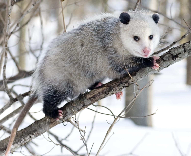 are pandas marsupials