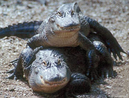 https://quantumbiologist.files.wordpress.com/2011/03/alligator.jpg?w=490