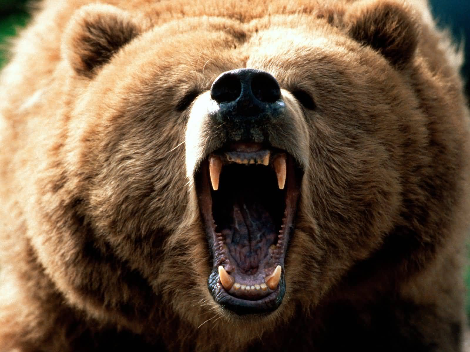 grizzly-roaring.jpg