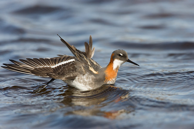 Red-necked Phalarope Peace out yo