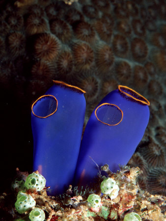 tunicate sea squirt Sessile Sea Squirts: Tunicates of the Great Barrier Reef.