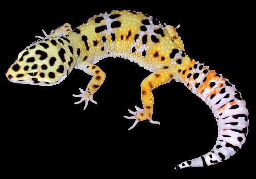 A Natural History of Leopard Print  The Quantum Biologist